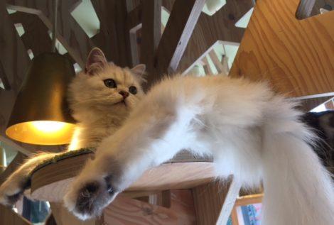 猫カフェのミント